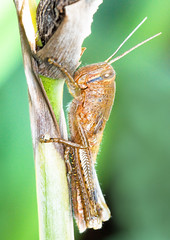Grasshopper - Yellow (Justintimett) Tags: grasshopper insects macro close up nature flora fauna sony a6000 canon 100mm colours vibrant parks gardens