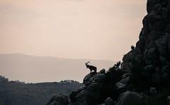 14939541_10153762600351330_8818111472260239517_o (shaunduke) Tags: spain mountain goat wildlife nature outdoors climbing elchorro blackandwhite mood