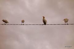DSC07368 (Peripatete) Tags: bali ubud petulu nature birds travel tourism