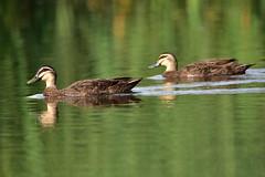 Pacific Black Ducks (Luke6876) Tags: pacificblackduck duck bird animal wildlife australianwildlife reflection