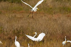 7K8A3944 (rpealit) Tags: scenery wildlife nature chincoteaque national refuge great egrets bird egret