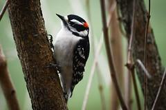 Downy Woodpecker (R. Murphy Photography) Tags: nikon d600 with sigma 150600 pennsylvania downy woodpecker wildlife bird birds