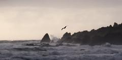 as far as you take me (Keith Midson) Tags: trialharbour westcoast tasmania australia coastal bird tern flying coastline coast storm waves ocean sky rocks shoreline stormy sea
