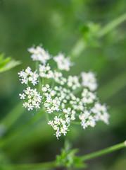 Small beauty (Eklis273) Tags: white weis grün green flower tiny small winzig klein garten garden outdoor blume dof samyang extensionring zwischenring sonya6000