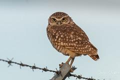 August 16, 2015 - A Burrowing Owl keeps watch near DIA. (Tony's Takes)