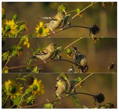 Madrona Marsh Goldfinches August 2015 crop (pekabo90401) Tags: birdwatching americangoldfinch lightroom goldfinches madronamarsh latedaylight southerncaliforniabirds lightroomtemplate birdwatchinglosangeles pekabo90401 birdsofmadronamarsh