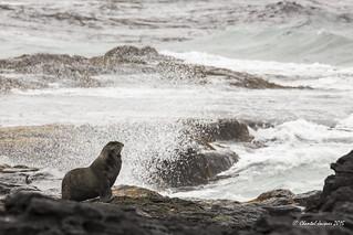 Northern Fur Seal, St Paul Island Alaska