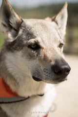 Lipowiec (AgataKnapik) Tags: portrait dog beauty nose eyes wolf half lipowiec