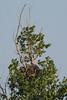 Pygargue à queue blanche (Jean-Phi.) Tags: pygargueàqueueblanche grandaigledemer aiglebarbu huardorfraie haliètealbicille haliaeetusalbicilla rapace aves accipitriformes accipitridae haliaeetus whitetailedeagle