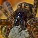 Female Fishing Spider