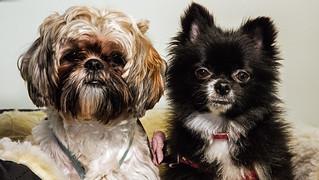 Sampson & Delilah ! Shih Tzu & Pomeranian - Explored