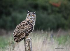Eagle Owl (Ladyinrosso) Tags: uk gloucestershire birdofprey eagleowl barenowlcentre
