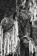 Wishing Strips (Picocoon图茧) Tags: china old blackandwhite bw tree texture traditional faith religion chinese strip wish anhui shitai