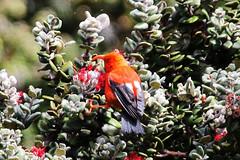 'i'iwi (robertskirk1) Tags: park bird nature animal hawaii native wildlife maui national haleakala hi hosmersgrovetrail