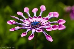 Staying (David S Wilson) Tags: uk pink flowers england flower daisy ely fens osteospurnum flowersplants 2015 davidswilson leicadgmacroelmarit12845asphlens lumixdmcgm5 adobelightroom6