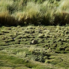 A Southern Viscacha
