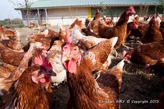 2015_10_12_Krust_0358.jpg (Christian.Patrick) Tags: alsace production poule ferme lieux oeuf hautrhin krust eteimbes fermedeloréedubois