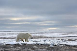 Polar Bear in ANWR