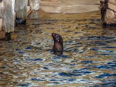 Loch Ness Seal (J.T. Lindroos) Tags: lumix zoo seal louisville louisvillezoo panasoniclumix fz70 dmcfz70
