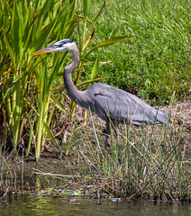 20151105-_74P7410.jpg (Lake Worth) Tags: bird nature birds animal animals canon wings florida outdoor wildlife feathers wetlands everglades waterbirds southflorida 2xextender sigma120300f28dgoshsmsports
