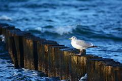 Silbermöwe (kalakeli) Tags: birds wasser gulls balticsea vögel ostsee möwen larusargentatus zingst herringgull mecklenburgvorpommern dars silbermöwe europeanherringgull