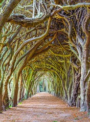 Tunnel of Yew trees (Semmick Photo) Tags: lighting wood trees ireland light irish brown tree green nature overgrown yellow forest campus outside woods mesh path branches tunnel vegetation yew botany magical footpath taxus conifer confined yewtree entangled meath intertwined treetunnel countymeath taxusbaccata englishyew comeath gormanston gormanstoncollege europeanyew yewwalk