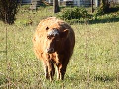 """DSCF8523 Parco Nord - Una fattoria! Con la stella sulla fronte, ma niente """"Brusca e Striglia"""" (vedi foto sotto) (Franz Maniago) Tags: tori cavalli toro mucche asinello asini bovini animalidomestici animalidafattoria animalidigrossataglia"""