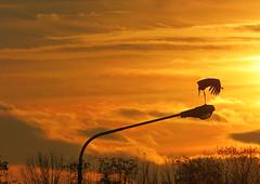 IMG_6803 stretching sunset stork (pinktigger) Tags: sunset italy bird nature lamp italia tramonto stork cegonha cigea lampione friuli storch ooievaar fagagna cicogne cicogna oasideiquadris feagne