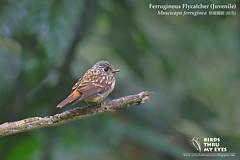 [ RECORD SHOT ] Juvenile Ferruginous Flycatcher (Muscicapa ferruginea)  () - Hutan Lipur Sungai Congkak , Daerah Hulu Langat , Selangor , Malaysia  (aby_@y@ Photography) Tags:
