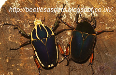 mecynorrhina torquata ugandensis, fresh adults (Radio Ga Ga Broadcasts Again) Tags: uk london giant unitedkingdom sale breeding exchange larvae goliathbeetle flowerbeetle insectphotography mecynorrhinatorquataugandensis goliathusorientalispreissi exotictropicalbeetle breedingtips breedingreports