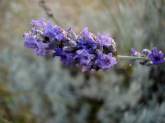 Lavander. (Marty_0722) Tags: morning flowers plant nature water purple violet brina natura lavander fiori viola rugiada pianta mattina lavanda