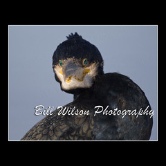 Cormorant (wildlifephotonj) Tags: bird nature birds cormorants wildlife cormorant naturephotography naturephotos wildlifephotography wildlifephotos natureprints wildlifephotographynj naturephotographynj