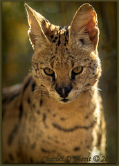 Serval Stare (ctofcsco) Tags: 1320 1d 1div 20 200mm 2015 black canon cat colorado denverzoo ef200mm ef200mmf2lisusm eos1dmarkiv explore explored f2 leptailurusserval mark4 markiv orange serval unitedstates usa white yellow animal bokeh denver geo:lat=3975024770 geo:lon=10494968870 geotagged nature northamerica statecapitol telephoto vinestreethouses wildlife wwwdenverzooorg zoo best wonderful perfect fabulous great photo pic picture image photograph