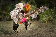 Cock Fight Thailand (siebe ) Tags: animal thailand fight outdoor scene cock thai rooster haan cruel 2015