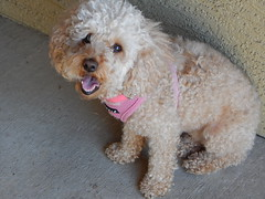 (mestes76) Tags: arizona pets dogs zoey apartment balcony surprise 061915