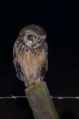 TÁ NA HORA D'UMA DIETA... (Armando Caldas) Tags: aves shortearedowl asioflammeus lezírias vilafrancadexira corujadonabal pontaderva armandocaldas
