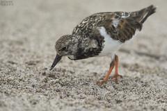Shorebird (ggallice) Tags: ecuador pacificocean archipelago shorebird galápagosislands islasgalápagos sancristóbalisland
