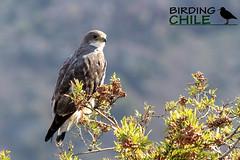 Variable Hawk / Geranoaetus ventralis / Aguilucho comun (Birding Chile) Tags: chile male hawk birding pale raptor andes comun morph variable forma aguilucho redbacked farellones palida ventralis geranoaetus