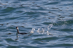 Horned Grebe (Tom Clifton) Tags: pointlobos grebe whalerscove hornedgrebe hogr