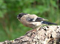 Bullfinch (Peanut1371) Tags: bullfinch finch gardenbird bird nationalgeographicwildlife cannockchase