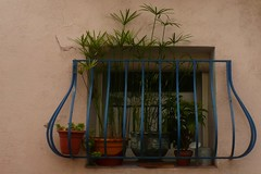 Papyrus (mistigree) Tags: ste plante pot papyrus fentre