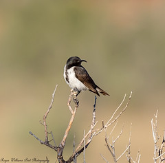 Black honeyeater (Sugamel niger) (Doublebar) Tags: abirdsaustralia a australianbirds honeyeater589black
