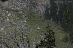"""Mountain Goat • <a style=""""font-size:0.8em;"""" href=""""http://www.flickr.com/photos/63501323@N07/29826739233/"""" target=""""_blank"""">View on Flickr</a>"""