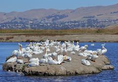 Pelican Island (tourtrophy) Tags: alviso whitepelicans pelicans birds seabirds donedwardswildliferefuge santaclaracounty southbay canoneos7dmark3 canonef100400mmf4556lisusm