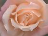 rose (upjohn_freak) Tags: rosa rose pink flower fleur fiore 薔薇 花 macro closeup