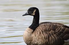Canada Goose (careth@2012) Tags: