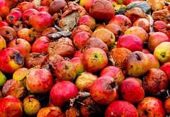 The Fallen Apples (mvnguyen) Tags: fall tractor pumpkin apple texture food