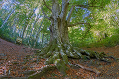 500 year old beech (Escipió) Tags: beech oldtree forest france pyrenees otoño autumn fisheye samyang8mmf35 tripod