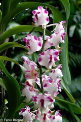 DSC_0020 (Fabio Brenna) Tags: flower flowers fiori fleurs flores colors orchid orchidea orchidee orchids orqudeas orchides