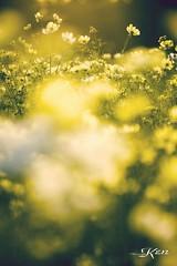 KEN_0659 (KenPhotographys) Tags: travelphoto travelasia travelphotograhy travelworld travel travelthejapan traveljapan tokyo landscape seetheworld snapshot snap scenery shinjuku shibuya flower flowers sky skyporn bluesky sunset cosmos